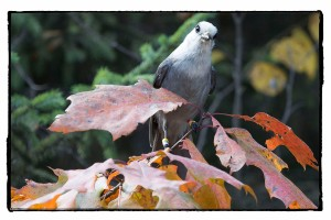 Grey Jay (Whiskeyjack)